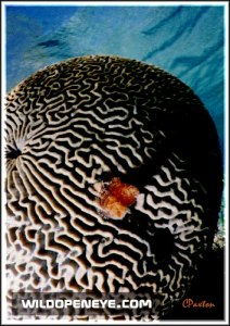 Bleached Brain Coral, Hol Chan Reserve, Belize. C.Paxton photo and copyright.