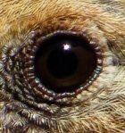eye of hen Northern Cardinal