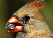 Northern Cardinal hen, taken on Lumix DMC FZ70, C.Paxton photo and copyright.