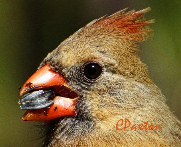 Northern Cardinal hen, taken on Lumix DMC FZ70, C.Paxton photo and copyright.
