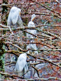 great_egrets1web