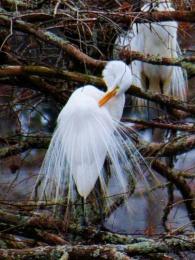 great_egrets2web