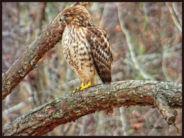 Red-tailed Hawk from about 50 yds away, at Crawfish Springs, near Farmerville, Louisiana. Taken on Lumix Fz70 in cloudy conditions. Enhanced in Serif Photoplus X7 with Topaz Adjust 5 on Clarity setting. Photo and copyright C.Paxton 2016.