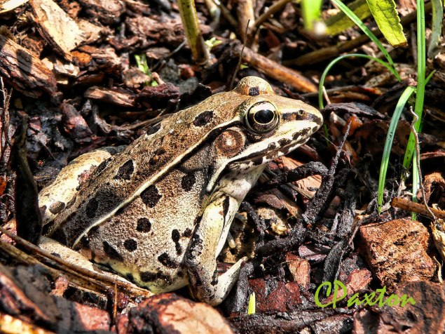 The Southern Leopard Frog