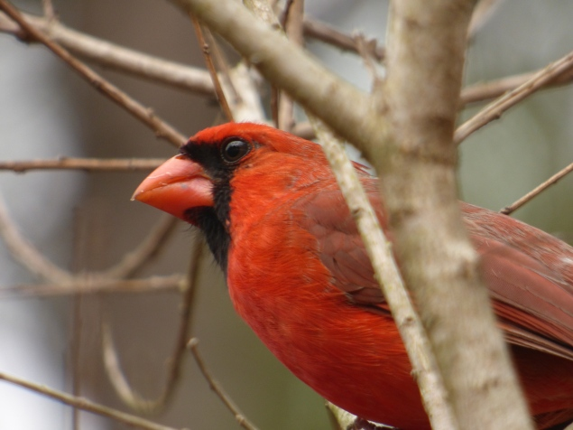 Unedited jpeg shot of Red Bird, Northern Cardinal. on Panasonic DMC FZ70 at 1200 mm handheld in ambient light from about 6 ft. Photo and copyright CPaxton