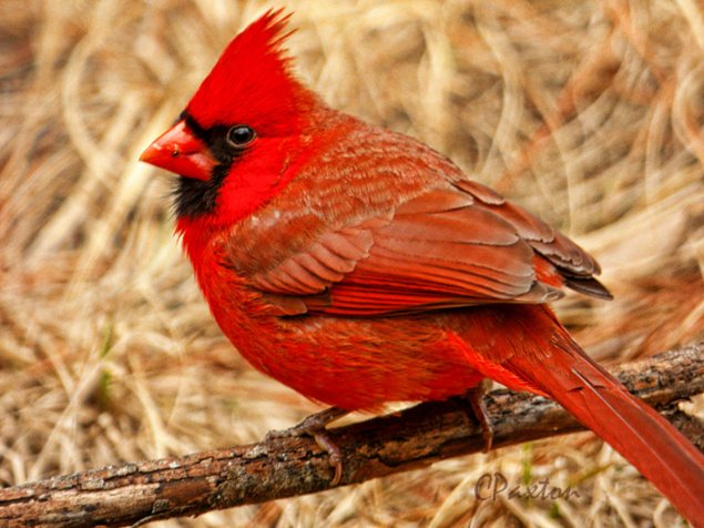 A Northern Cardinal, developed in Silkypix, boosted in Topaz Adjust 5 and then resized for web in Photoshop Elements 8.