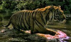 Tiger_andyluck