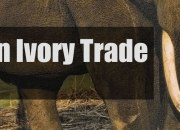 Japan's Domestic Ivory Trade Is In Focus Now