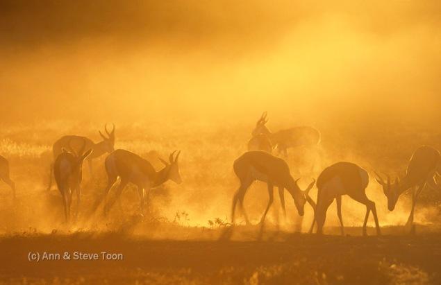Springbok, Antidorcas marsupialis, Kgalagadi Transfrontier Park, South Africa