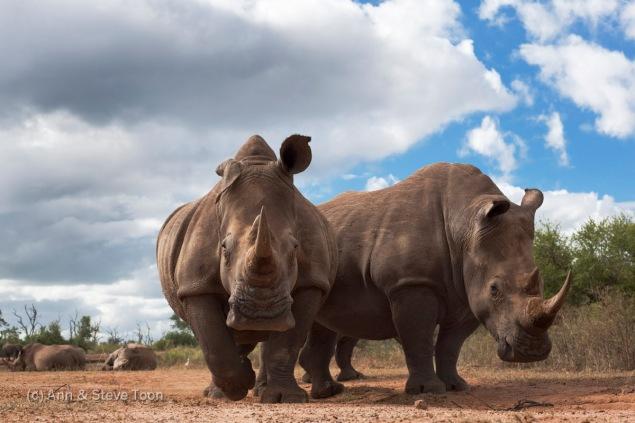White rhinos, Ceratotherium simum, Hlane Royal National Park game reserve, Swaziland, Africa