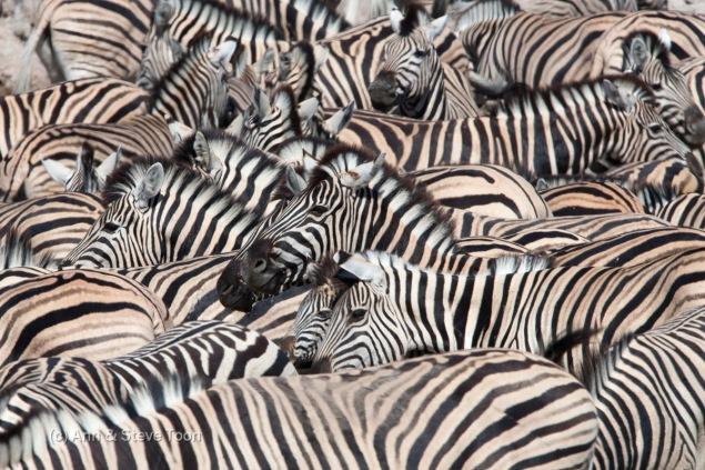 Plains zebra, Equus burchelli, crowd at waterhole, Etosha National Park, Namibia, Africa
