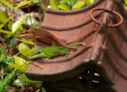 The same Green Anole, in both green and brown phases at Crawfish Springs. C. Paxton photo and copyright.