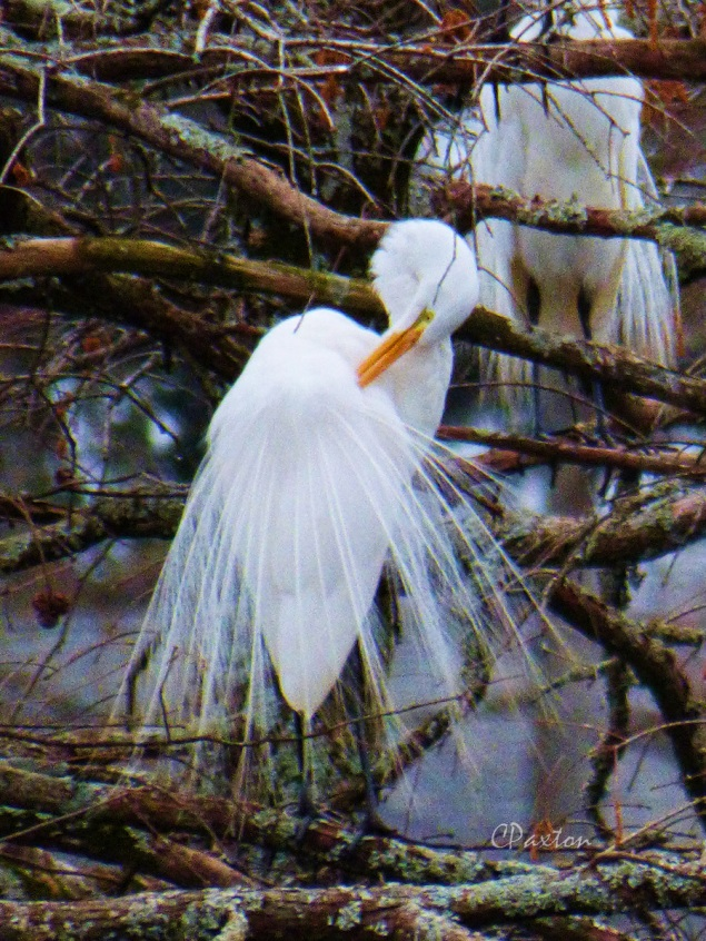 A Great (White) Egret, grooming its impressive nuptial plumes, known as  'aigettes'. These were popular adornments for ladies' hats in the C19th and it was overhunting of these birds for the fashion trade that stimulated people to create the earliest protected areas.