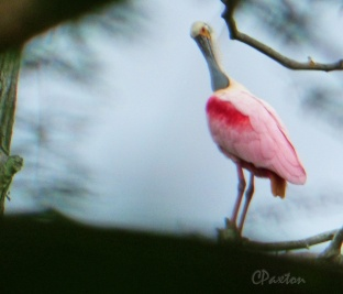 A Roseate Spoonbill fully extending its neck and nibbling feathers when grooming.