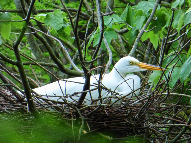 Great Egret on the nest. C. Paxton photo and copyright.