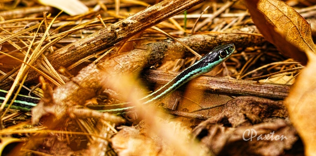 Slender, graceful and harmless to people, this Ribbon Snake prefers to bite its dinner of small lizards and insects.