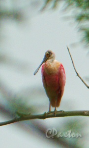 A Roseate Spoonbill roosting at Tensas River, National Wildlife Refuge, Louisiana.