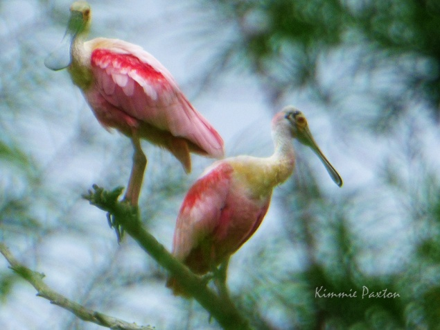 Roseate Spoonbills roosting at Rainey Lake, Tensas River NWR. Photo and copyright K. Paxton