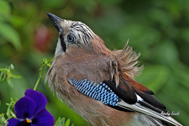 Blue Jay in London, photo and copyright  Andy Luck of wildopeneye.com