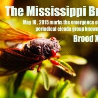 Creature Feature: Periodical Cicadas in Eros, Louisiana.