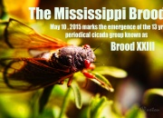The Mississippi Brood emerged in Eros, Northeastern Louisiana on May 9th , 2015. Magicicada tredecim, the periodical cicada from Brood XXIII confounds predators by spending 13 years underground