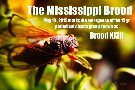 The Mississippi Brood emerged in Eros, Northeastern Louisiana on May 9th , 2015. Magicicada tredecim, the periodical cicada from Brood XXIII confounds predators by spending 13 years underground Photo and copyright C.Paxton