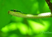 rough green snake, Ophendrys aestivus