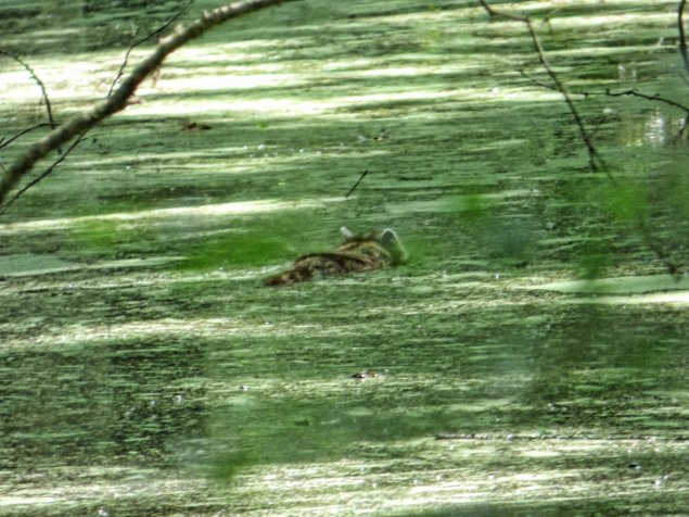 swimming raccoon