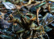 Crayfish or Crawfish adopting a defensive posture at Turkey Foot Spring in Crawfish Springs near Antioch, Louisiana.