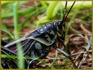 The Devil's Horse, aka Graveyard Grasshopper inhabits meadows and roadside ditches
