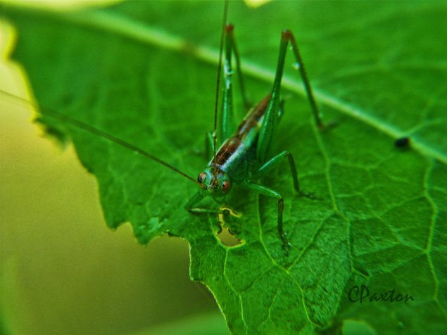 A grasshopper feeding on a leaf. C.Paxton photo and copyright.