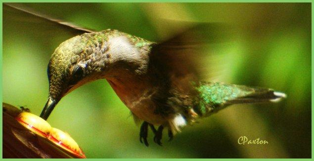 Female Ruby Throated Hummingbird at the feeder.