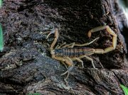 A Striped Bark Scorpion on a log in Louisiana
