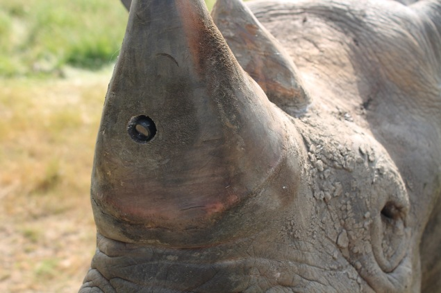 Rhino cam in field test  - an integral part of RAPID protection for endangered rhinos. Photo and copyright Humane Society International.