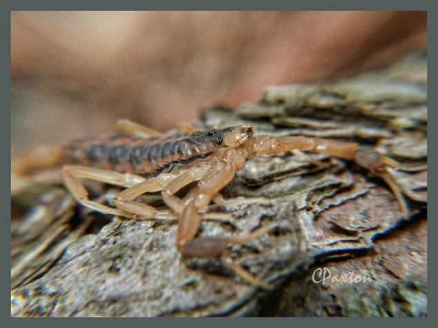 A macro shot of a Striped Bark Scorpion.