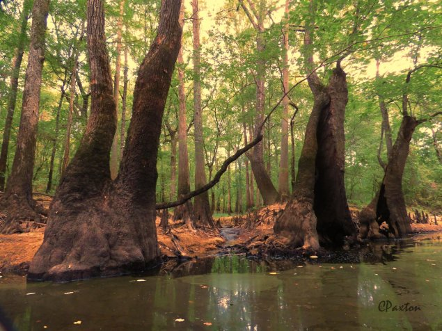 A clear stream joining Bayou Deloutre, flanked by stout Tupelo trees. A paradise for small frogs. C.Paxton photo and copyright,