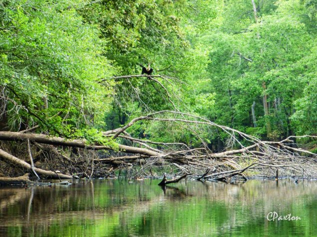 Anhinga and river turtles on a snag in Bayou Deloutre. C.Paxton photo and copyright