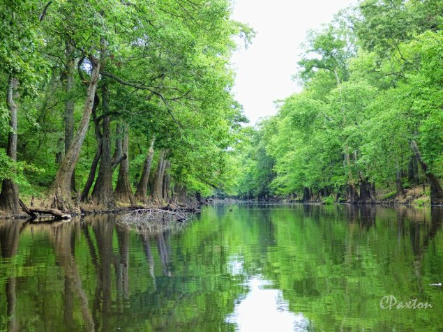 Swamp Tupelo and Bald Cypress flank the tranquil waters of beautiful Bayou Deloutre near Antioch, Northeastern Louisiana. C,Paxton photo and copyright,