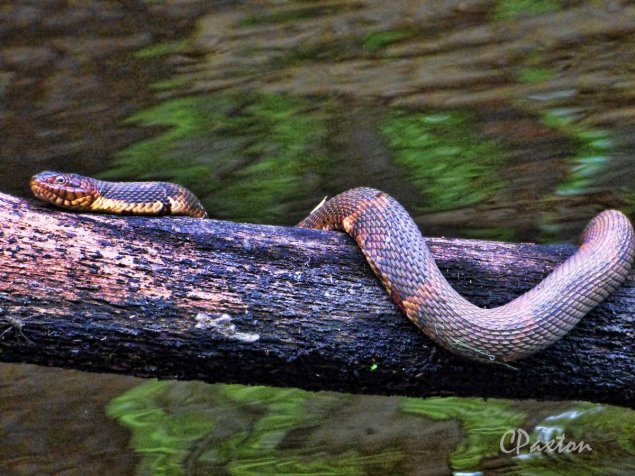 A Broadbanded Water Snake wth its characteristic fat cheeks was warming itself draped over this snag. C.Paxton photo and copyright.