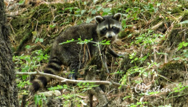 Raccoon on the riverbank at Bayou Deloutre. Photo and copyright C.Paxton.
