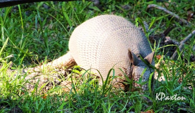 Adult Armadillo on the east bank of Bayou D'Arbonne. K . Paxton photo and copyright.