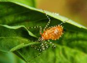A stripey-legged Assassin Bug