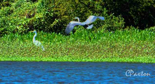 A Great Blue Heron sails past a Great White Egret on one of the islands in Bayou D'Arbonne.