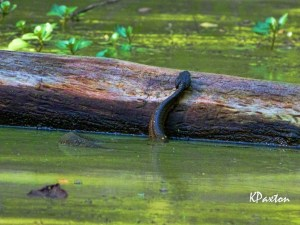 Cottonmouth attempting to mount a log. K. Paxton photo and copyright.