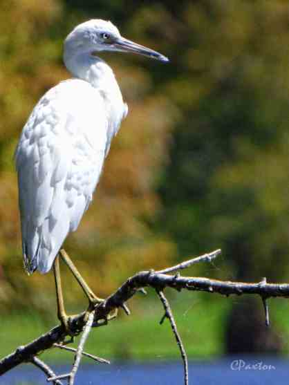 Great Egrets are very handsome birds, some will let you get quite close by kayak.