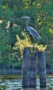 Great Blue Heron at Bayou D'Arbonne