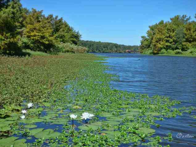 Water Lilies in the channel between two islands in Lake D'Arbonne.