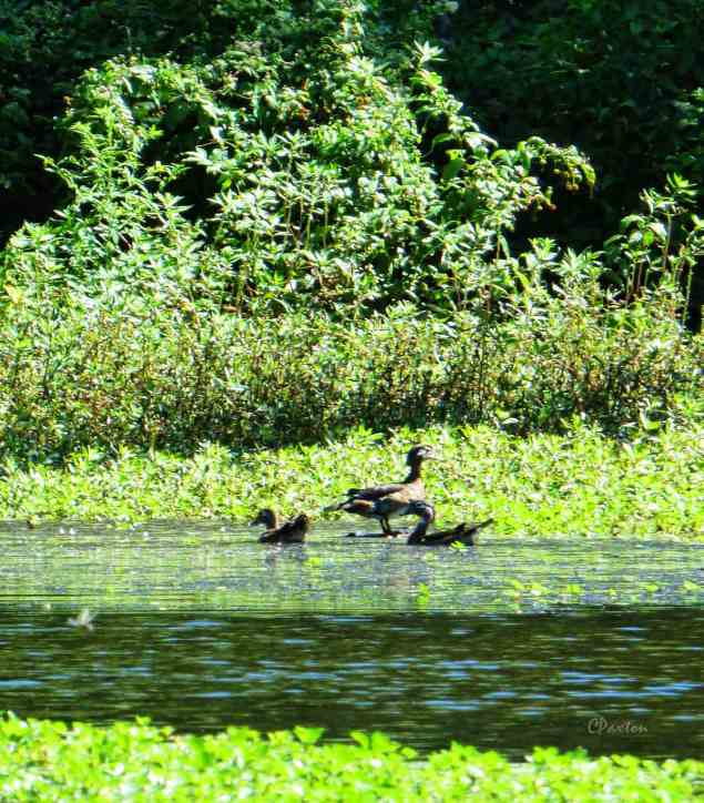 Wood Ducks on Lake D'Arbonne