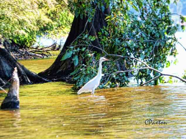 White Egret beside beaver-gnawed stump, Lake D'arbonne, Louisiana.