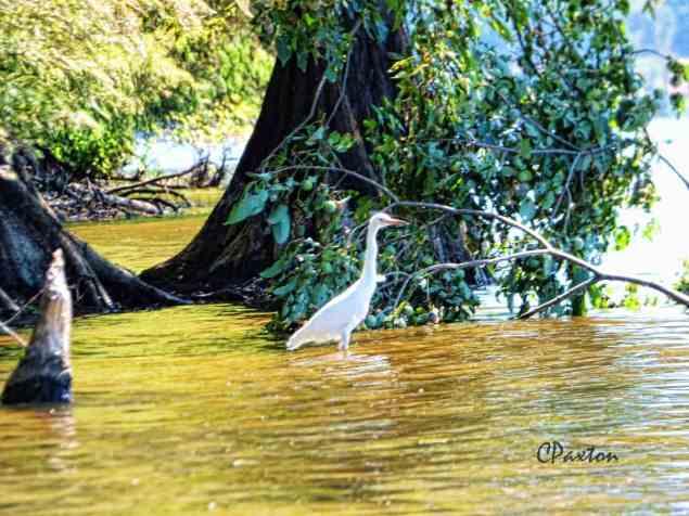 White Egret beside beaver-gnawed stump, Lake D'arbonne, Louisiana.